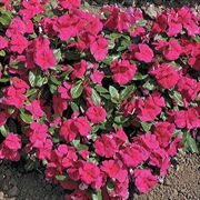 Cora™ Burgundy Vinca Flower Seeds