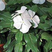 Cora™ White Vinca Flower Seeds
