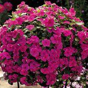 Cora® Cascade™ Magenta Vinca Flower Seeds