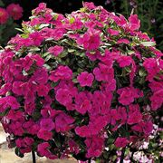 Cora® Cascade™ Magenta Vinca Flower Seeds image