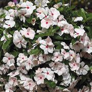 Cora® Cascade™ Peach Blush Vinca Flower Seeds