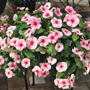 Cora® Cascade™ Strawberry Vinca Seeds