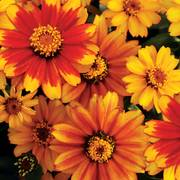 Zahara® Sunburst Zinnia Seeds Alternate Image 1