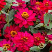 Profusion Double Hot Cherry Zinnia Seeds image