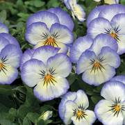 Penny Purple Picotee Viola Seeds