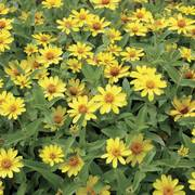 Profusion Yellow Zinnia Seeds image