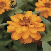 Profusion Double Golden Zinnia Seeds image