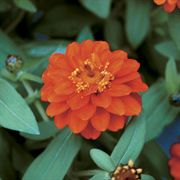 Profusion Double Fire Zinnia Seeds image