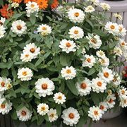 Profusion Double White Zinnia Seeds
