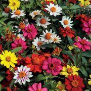 Zahara® Mix Zinnia Seeds Pack of 100 image