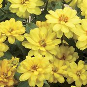 Zinnia Profusion Double Yellow Seeds image