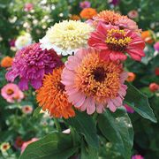 'Candy Mix' Zinnia Seeds (P) Pkt of 50 seeds image
