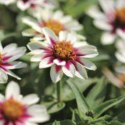 Zahara® Starlight Rose Zinnia Seeds Alternate Image 1