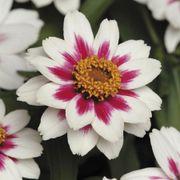 Zahara® Starlight Rose Zinnia Seeds Alternate Image 2