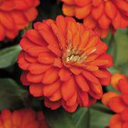 Zahara™ Double Fire Zinnia Seeds