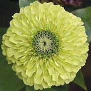 Queen Lime Zinnia Seeds