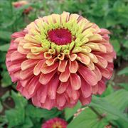 Queen Red Lime Zinnia Seeds (P) Pkt of 25 seeds image