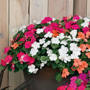 Shady Lady II Hybrid Mix Impatiens Seeds image