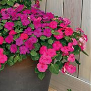 Shady Lady II Glow Girl Hybrid Impatiens Seeds image