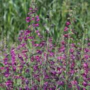 Twizzle Purple Penstemon Seeds image