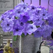 Evening Scentsation Petunia Seeds Pack of 100 image