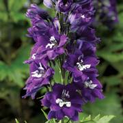 Delphina Dark Blue White Bee Delphinium
