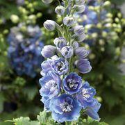 Delphina™ Light Blue White Bee Delphinium Seeds Thumb