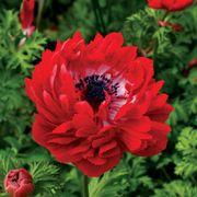 Harmony Double Scarlet Anemone Seeds