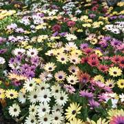 Osteospermum Akila Grand Canyon Mix image