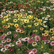 Painted Daisy Mix Seeds