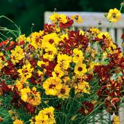 Roulette Mix Coreopsis Seeds image