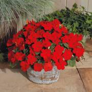 Shady Lady II Cherry Red Hybrid Impatiens Seeds image