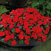 Shady Lady II Cherry Red Hybrid Impatiens Seeds Alternate Image 1