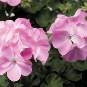 Pinto™ Premium Lavender Geranium Seeds image
