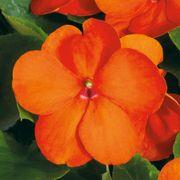 Shady Lady II Orange Hybrid Impatiens Seeds Alternate Image 1