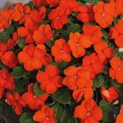 Shady Lady II Orange Hybrid Impatiens Seeds Alternate Image 2