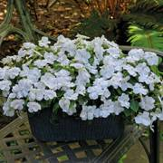 Shady Lady II White Hybrid Impatiens Seeds image
