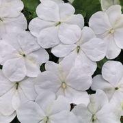 Shady Lady II White Hybrid Impatiens Seeds Alternate Image 2