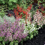 Summer Jewel Mix Salvia Seeds