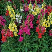 Candy Tops Mix Snapdragon Seeds Thumb