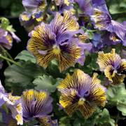 Frou Frou Blue & Yellow Viola Seeds