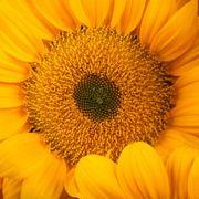 Vincent's® Fresh Sunflower Seeds Alternate Image 1