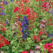 Hummingbird Wildflower Mix image