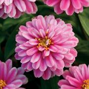 Zahara Double Raspberry Ripple Zinnia Seeds image