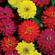 Zahara Double Brilliant Mix Zinnia Seeds