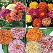 Zinnia Seed Tape Collection