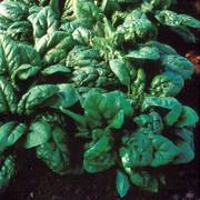 Tyee Hybrid Spinach Seed Tape