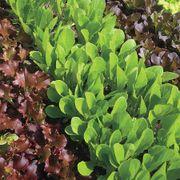 Babyleaf Lettuce Blend Seed Tape image