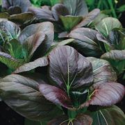 Purple Hybrid Pak Choi Seed Tape image