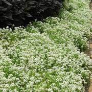 Sweet Alyssum Snow Crystals Seed Tape